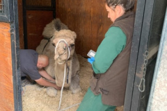 camel-in-stable