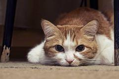 cat-pain-scale-483674705